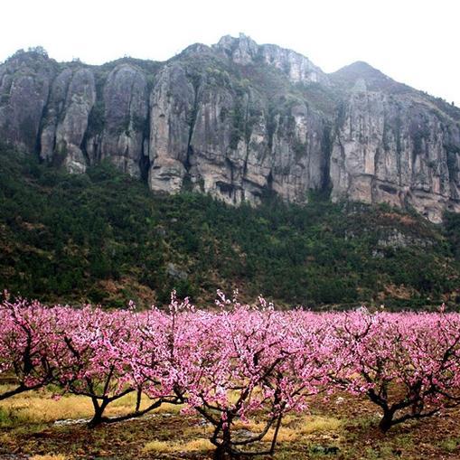99元/人/天 【L01】天台后岸村  三月桃花节   精品农家乐