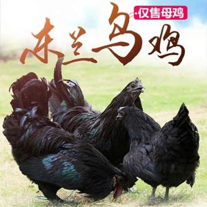 广西四大名鸡  东兰山乌鸡  180天松林散养土鸡  月仔鸡