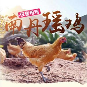 广西四大名鸡 南丹瑶鸡 180天松树林散养土鸡