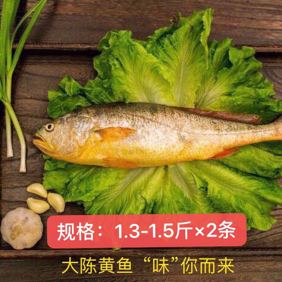 现捕大陈岛大黄鱼东海半野生生态放养黄花鱼冰鲜1.3-1.5斤